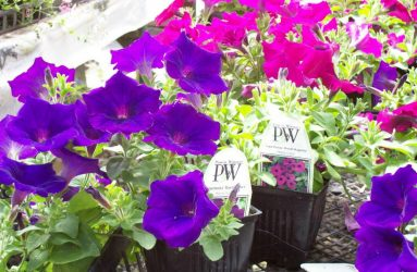 Proven Winners Annuals
