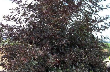 Exciting NEW Shrub and Tree Introductions