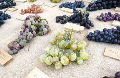 Grapes for the home gardener